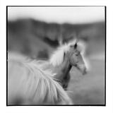 Icelandic Ponies  Iceland