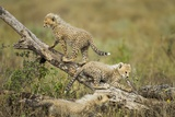 Cheetah Cubs at Ngorongoro Conservation Area  Tanzania