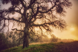 Old Oak  Sun and Fog  Mount Diablo