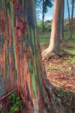 Rainbow Eucalyptus Grove  Kauai
