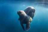 Walrus and Calf  Hudson Bay  Nunavut  Canada