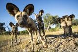 Wild Dogs  Moremi Game Reserve  Botswana