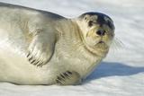 Bearded Seal  Svalbard  Norway