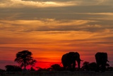 Elephant at Dusk  Nxai Pan National Park  Botswana