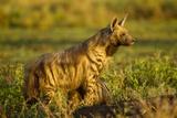 Aardwolf  Ngorongoro Conservation Area  Tanzania