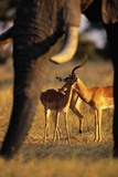 Impalas and Blurred Elephant Trunk