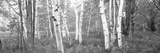 Birch Trees in a Forest  Acadia National Park  Hancock County  Maine  USA