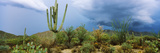 Cacti Growing at Saguaro National Park  Tucson  Arizona  USA