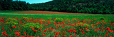 Poppies in a Field  Provence-Alpes-Cote D'Azur  France