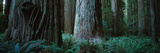 Trees in a Forest  Jedediah Smith Redwoods State Park  California  USA