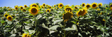 Sunflower Field  California  USA