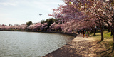 Cherry Blossom Trees at Tidal Basin  Washington Dc  USA