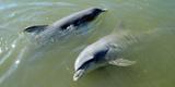 Dolphins in the Sea  Varadero  Matanzas Province  Cuba