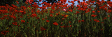 Flanders Field Poppies (Papaver Rhoeas) in a Field  Anacortes  Fidalgo Island  Skagit County