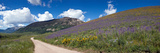 Brush Creek Road and Hillside of Sunflowers and Purple Larkspur Flowers  Colorado  USA