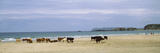 Cows on the Beach  White Rocks Bay  County Antrim  Northern Ireland