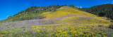 Sunflowers and Larkspur Wildflowers on Hillside  Colorado  USA
