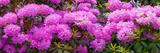 Hydrangeas Flowers  Union Township  Union County  New Jersey  USA