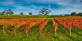 Autumn Vineyard at Napa Valley  California  USA
