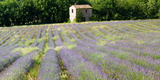 Barn in the Lavender Field  Luberon  Provence  France