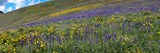 Hillside with Yellow Sunflowers and Purple Larkspur  Crested Butte  Gunnison County  Colorado  USA