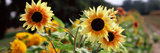Close-Up of Sunflowers (Helianthus Annuus)