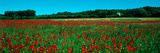 Poppies and Sheep in a Field  Provence-Alpes-Cote D'Azur  France