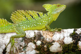 Close-Up of a Plumed Basilisk (Basiliscus Plumifrons) on a Branch  Cano Negro  Costa Rica