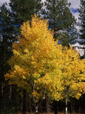 Aspen and Ponderosa Pine Trees in Autumn  Crater Lake National Park  Oregon  USA