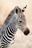 Close-Up of a Burchell's Zebra (Equus Burchelli)  Ngorongoro Crater  Ngorongoro  Tanzania