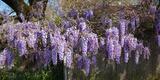 Wisteria Flowers in Bloom  Sonoma  California  USA