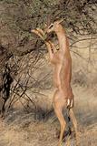 Male Gerenuk (Litocranius Waller) Eating Leaves  Samburu National Park  Rift Valley Province  Kenya
