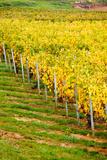 Vineyard  Ozenay  Maconnais  Saone-Et-Loire  Burgundy  France