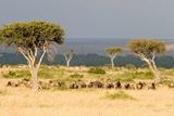 Great Migration of Wildebeests  Masai Mara National Reserve  Kenya