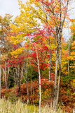 Colorful Trees in the Forest During Autumn  Muskoka  Ontario  Canada