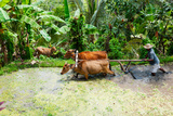 Farmer with Oxen Working in Paddy Field  Rejasa  Penebel  Bali  Indonesia