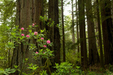 Redwood Trees and Rhododendron Flowers in a Forest  Del Norte Coast Redwoods State Park