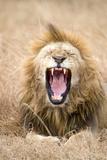 Lion (Panthera Leo) Yawning in a Forest  Ngorongoro Crater  Ngorongoro  Tanzania