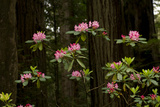 Rhododendron Flowers and Redwood Trees in a Forest  Del Norte Coast Redwoods State Park