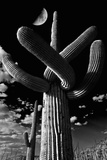 Low Angle View of a Saguaro Cactus (Carnegiea Gigantea)  Tucson  Pima County  Arizona  USA