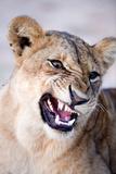 Close-Up of a Lioness (Panthera Leo) Looking Angry  Tarangire National Park  Tanzania