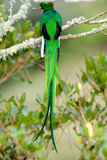 Close-Up of a Resplendent Quetzal (Pharomachrus Mocinno) Perching on a Branch  Savegre  Costa Rica