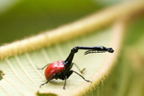 Close-Up of a Giraffe Weevil (Trachelophorus Giraffa) on a Leaf