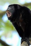 Close-Up of a Black Howler Monkey (Alouatta Caraya)  Costa Rica