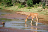 Reticulated Giraffe (Giraffa Camelopardalis Reticulata) Drinking Water at a River