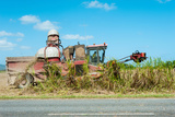 Sugar Cane Being Harvested  Lower Daintree  Queensland  Australia