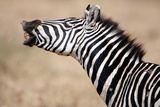 Close-Up of a Burchell's Zebra (Equus Burchelli)  Tarangire National Park  Tanzania