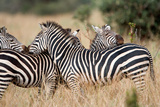 Burchell's Zebras (Equus Burchelli) in a Forest  Tarangire National Park  Tanzania
