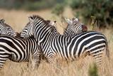 Burchell's Zebras (Equus Burchelli) in a Forest  Tarangire National Park  Tanzania