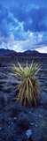 Yucca Flower in Red Rock Canyon National Conservation Area  Las Vegas  Nevada  USA